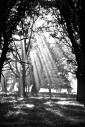Sunlight streaming through trees in a wood, black and white