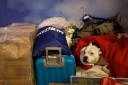 A dog wrapped in a blanket next to suitcases, bags and boxes belonging to homeless people